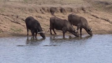Cocodrilo acechando a unos búfalos