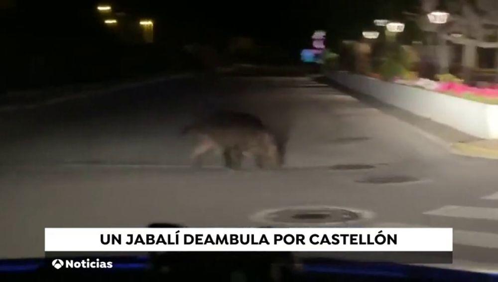 El jabalí que visitaba la basílica del Lledó en Castellón