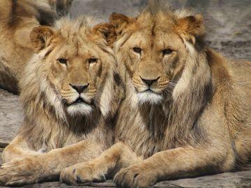 Coronavirus: Los leones invades las calles durante el confinamiento