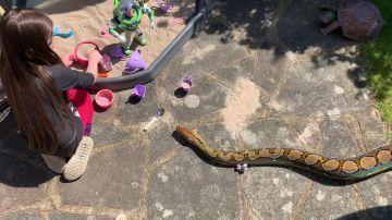 Serpiente pitón como mascota