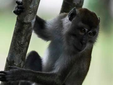 Una vacuna experimental logra inmunizar a los monos ante el coronavirus en China