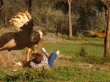 Avestruz atacando un hombre