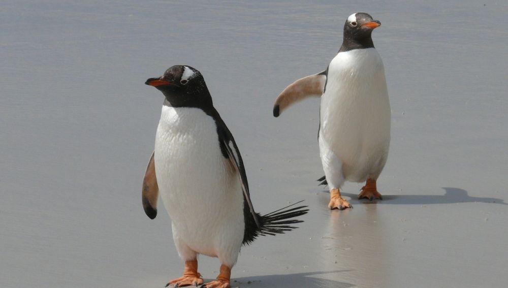 Pareja de pingüinos