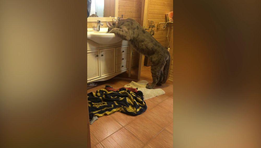 Un puma en el baño de casa