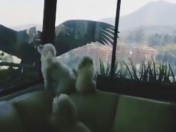 Cónderes intentando atacar a perros