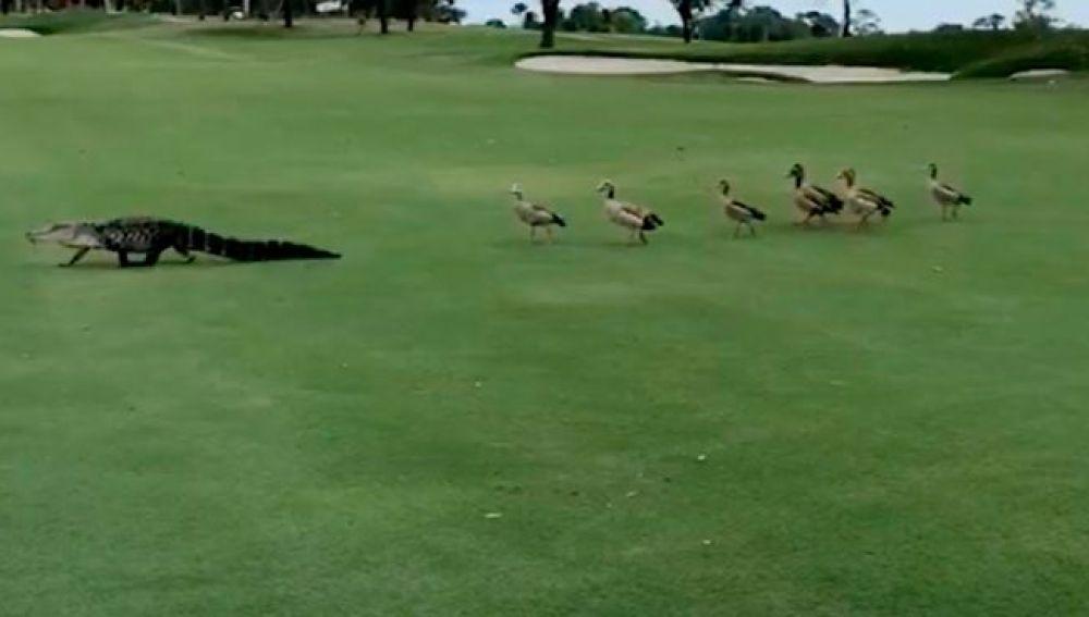 Patos siguen a un caminán