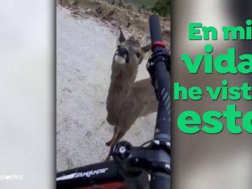 El encuentro entre un corzo y un ciclista