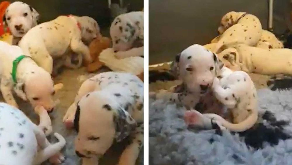 Cachorros de dalmatas