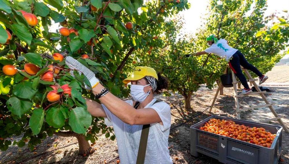 Agricultores recolectan fruta en Murcia