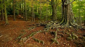 El ritmo con el que los bosques de Cataluna capturan CO2 disminuye un 17 en 25 anos