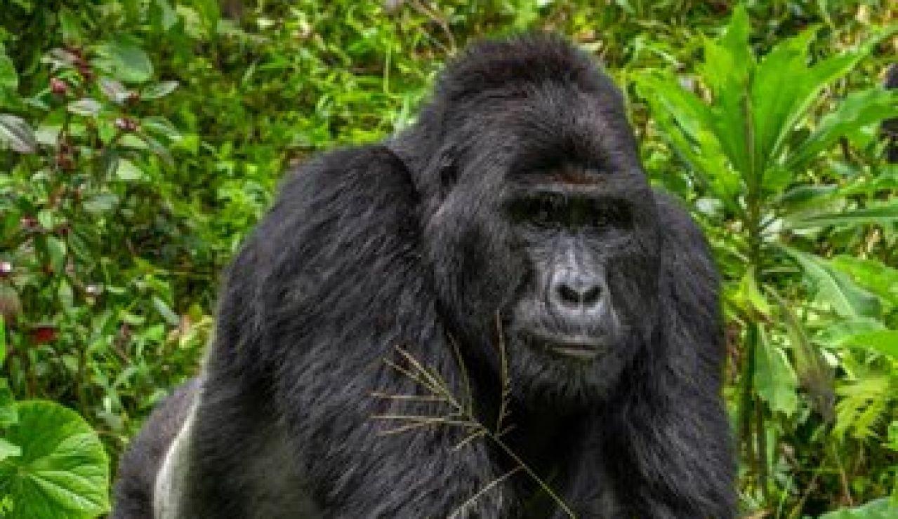 Rafiki, uno de los últimos gorilas de montaña de Uganda