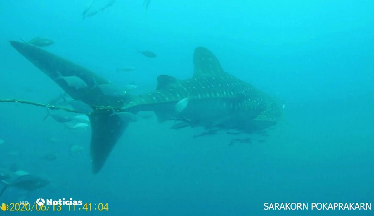 El dramático intento de un buzo por liberar a un tiburón ballena con una cuerda enredada a su cola