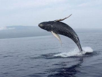 Ballena saltando fuera del agua