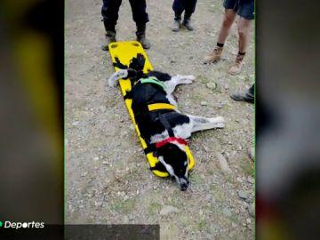 Gretel, la perra que fue rescatada por la Guardia Civil en un pico de Palencia