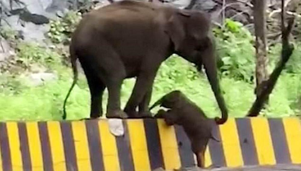 Un elefante ayuda a su cría