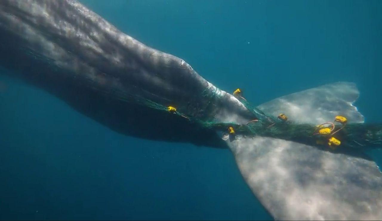 Buscan en el Estrecho de Gibraltar a 'Toño', un cachalote lleva diez días atrapado en una red de pesca