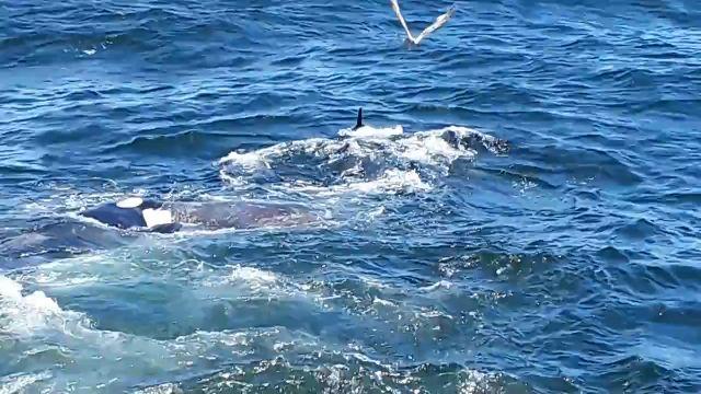 Un grupo de orcas devora a una ballena gris