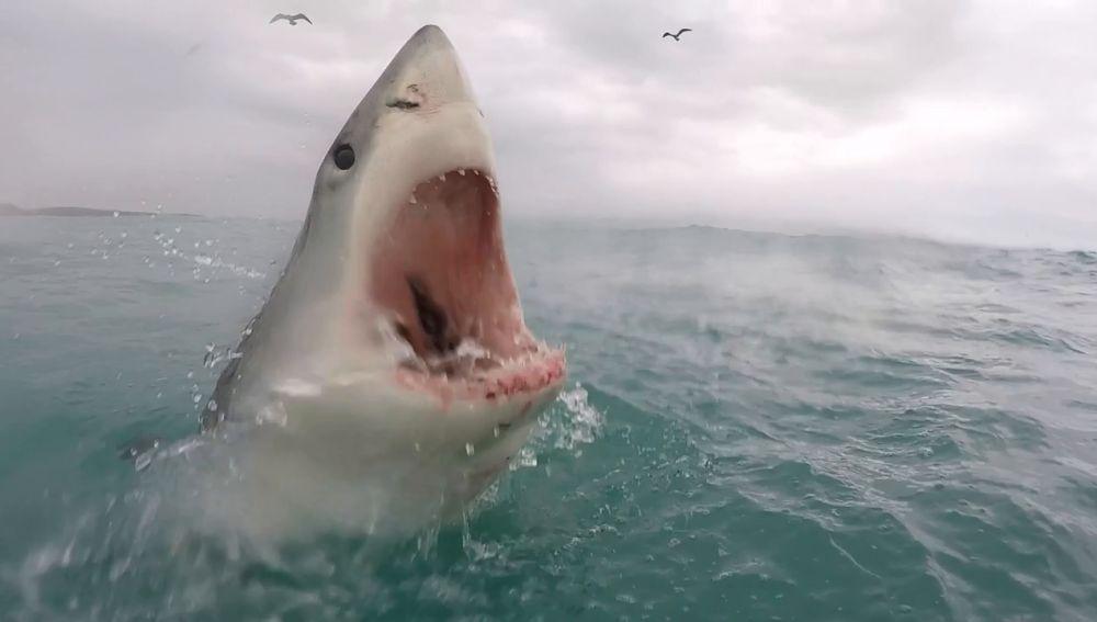 Un gran tiburón blanco devora cebo