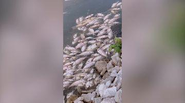 El misterio rodea a un lago lleno de peces muertos