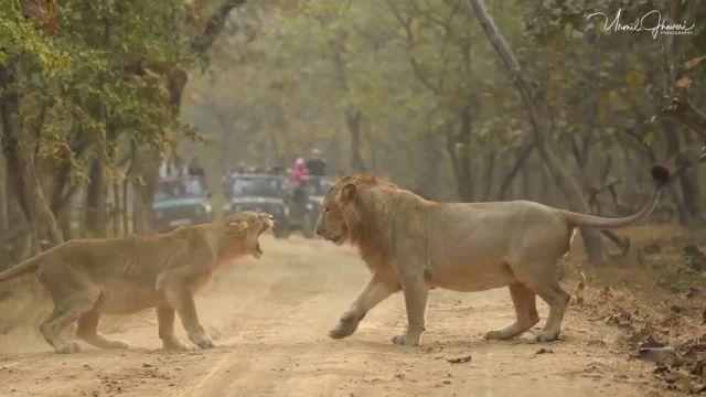 El impactante momento en que una leona y un león se enfrentan en mitad de un camino