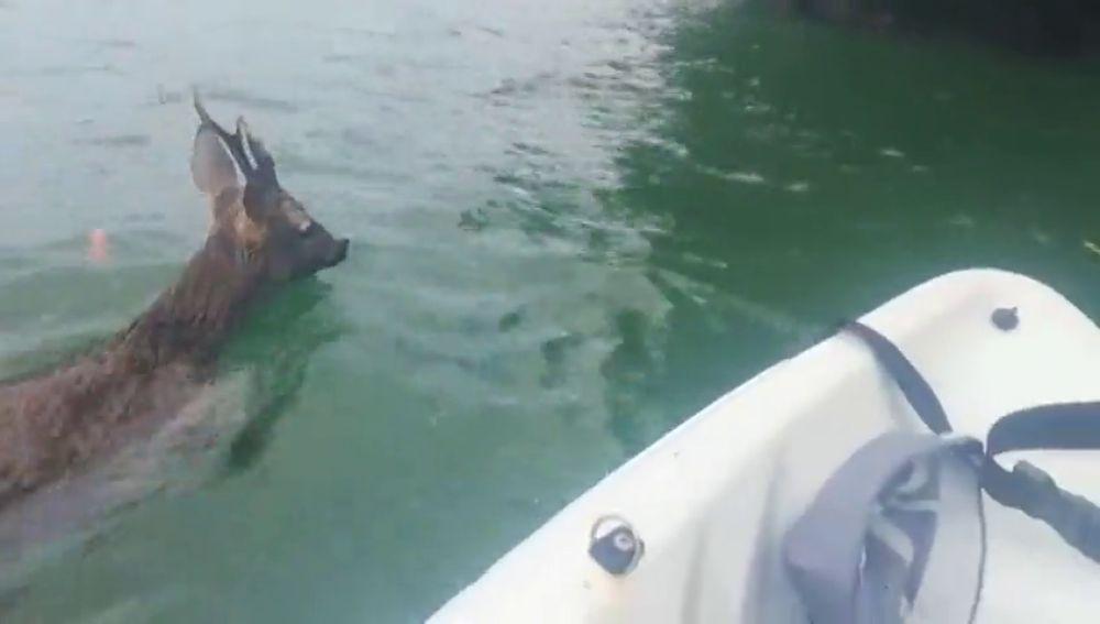 """Un padre y su hija rescatan a un corzo que se había caído al mar en Galicia: """"¡Vamos, bonito, ya casi estamos!"""""""