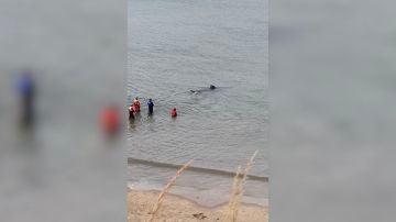 Un tiburón peregrino varado en la costa de Reino Unido