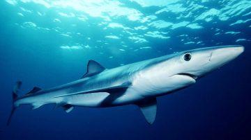 Tintorera o tiburón azul