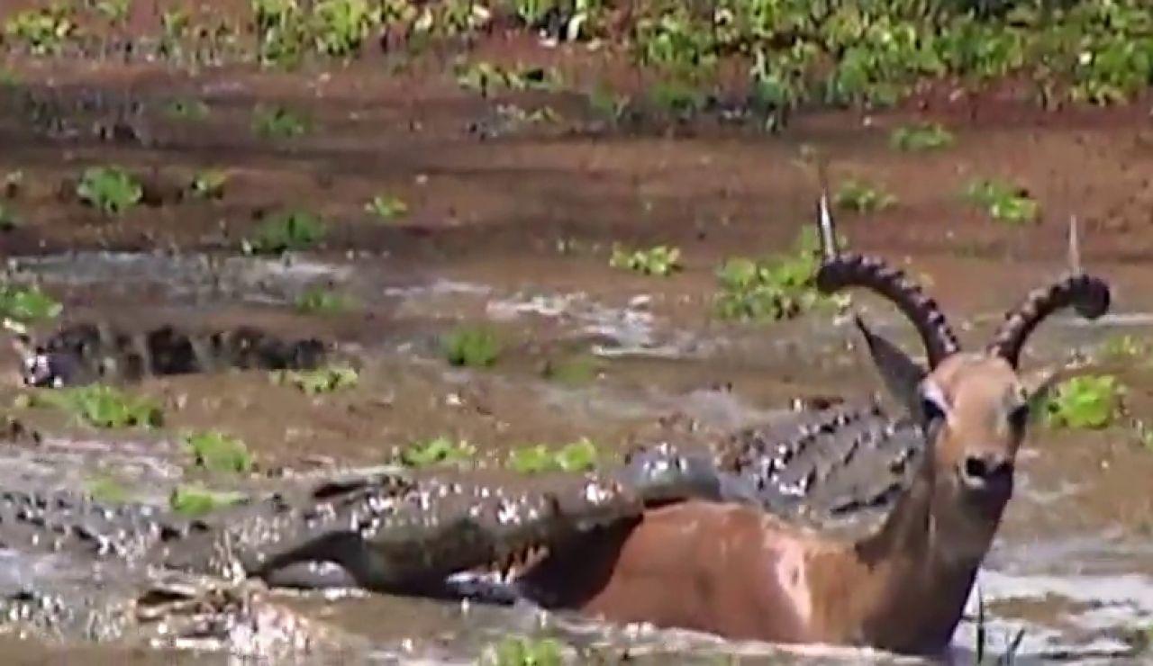 Un cocodrilo intenta devorar a un impala