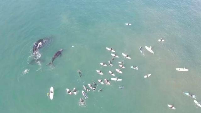 Una ballena y una ternera chapoteando junto unos surfistas