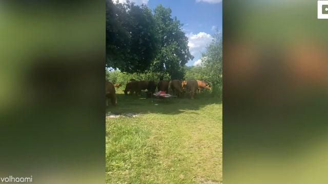 Se despierta rodeada de vacas