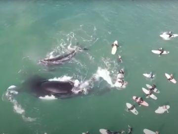 El increíble vídeo de una ballena y su cría jugando junto a unos surfistas en Australia