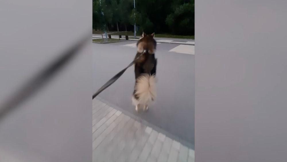 Perro pasea a dos patas