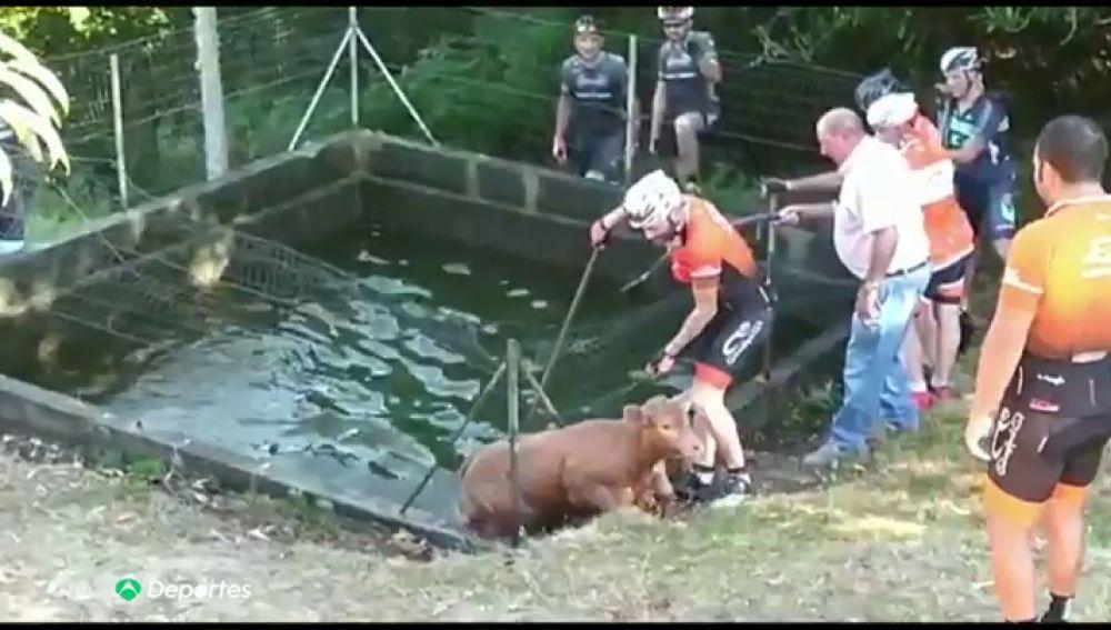 """Varios ciclistas salvan a un becerro de morir ahogado gracias a los mugidos de socorro de unas vacas en Galicia: """"No podía salir"""""""