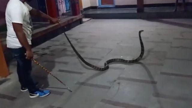 Cobra de 10 pies de largo