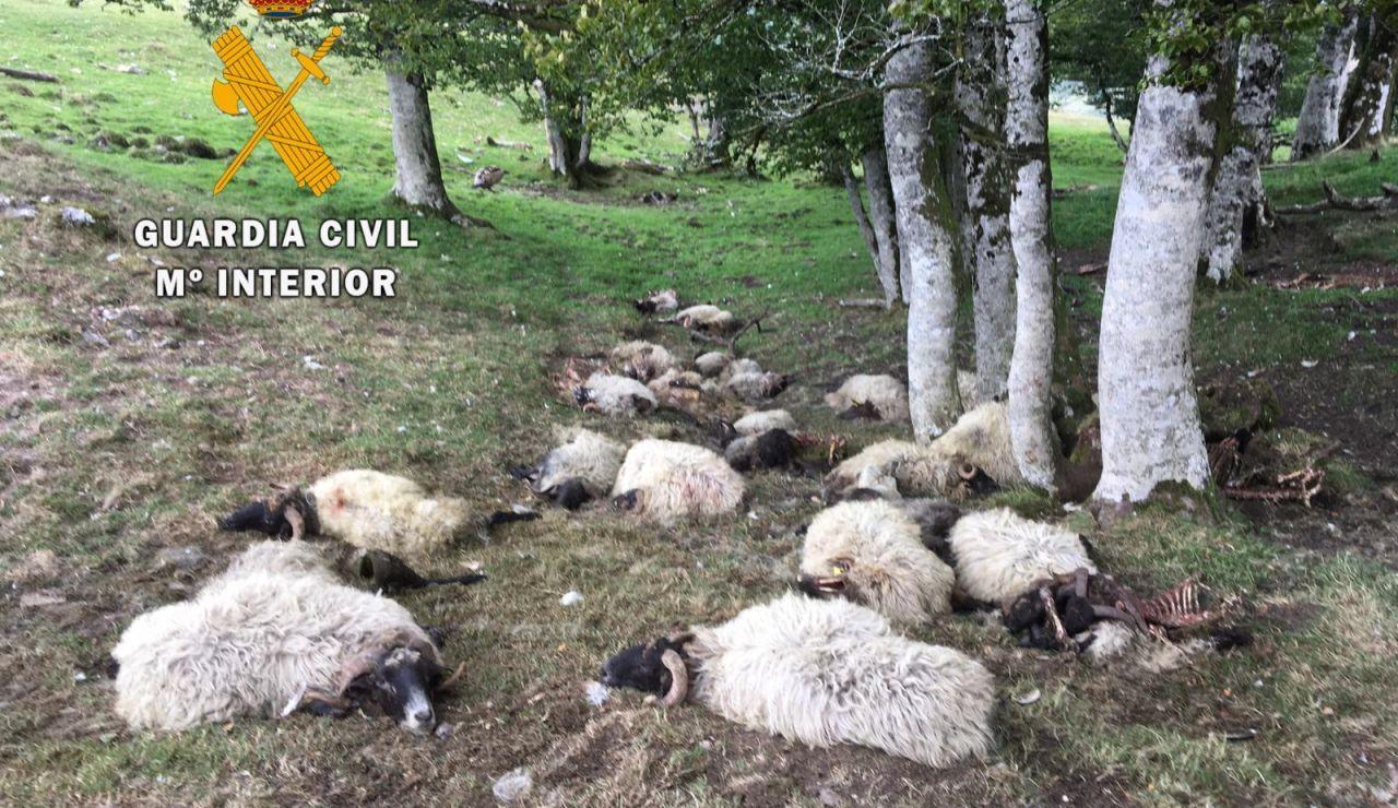 28 ovejas aparecen muertas en Navarra