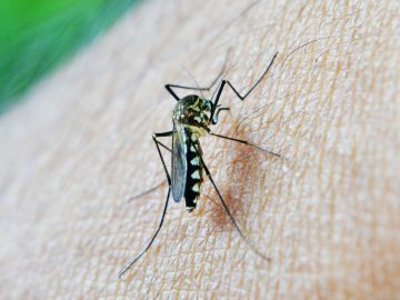 Imagen de archivo de un mosquito