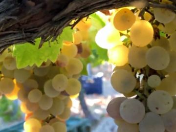 Así se elabora el vino dulce de Pedro Ximénez en Montilla-Moriles, Córdoba