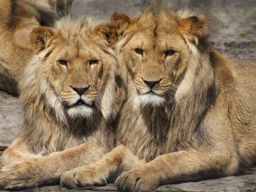 Imagen de archivo de dos leones en un zoológico