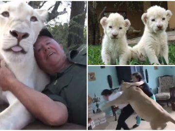 Un hombre muere devorado por dos leonas a las que salvó la vida nada más nacer