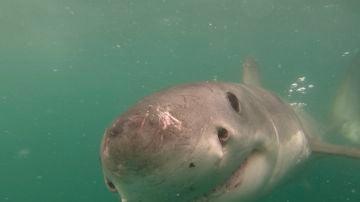 Tiburón blanco se encuentra cara a cara con una GoPro
