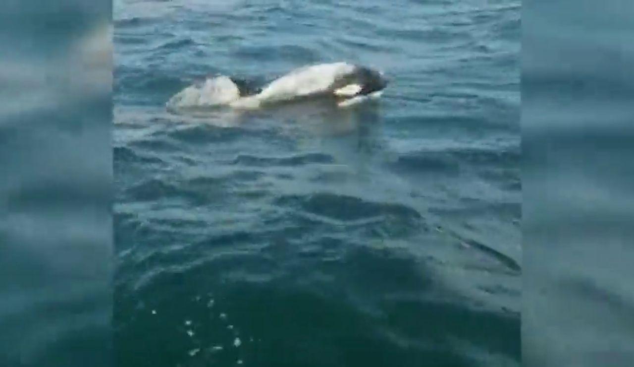 Un grupo de orcas ataca a un velero en Corrubedo y le rompe parte de un timón