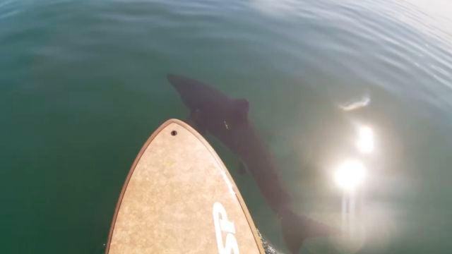 los kayakistas son rodeados por un gran tiburón blanco