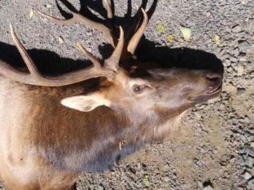 Ejemplar de uapití, wapití o ciervo canadiense