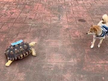 Divertido vídeo en el que un perro está aterrorizado por una amigable tortuga