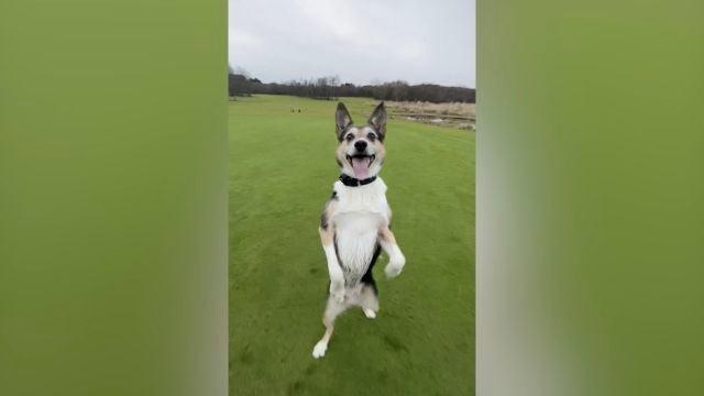 Este perro tiene el talento de caminar hacia atrás como un humano