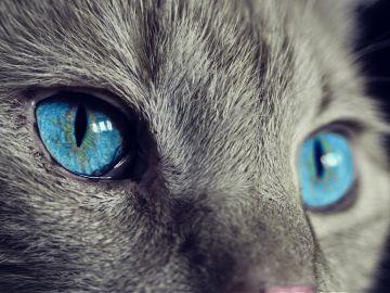 Negrito, el primer gato contagiado de Covid-19 en España no murió por coronavirus