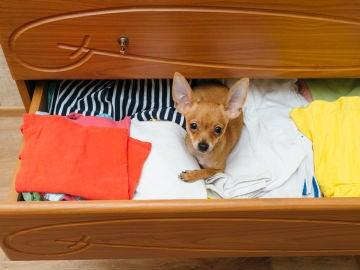 Un perro se cuela entre los cajones de ropa