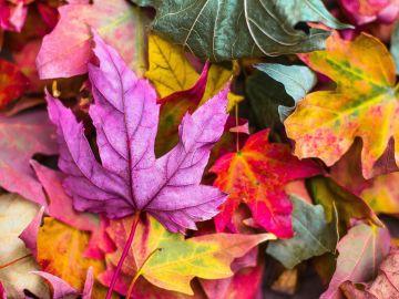 ¿De qué árbol provienen y cuál es el origen de las hojas de otoño?