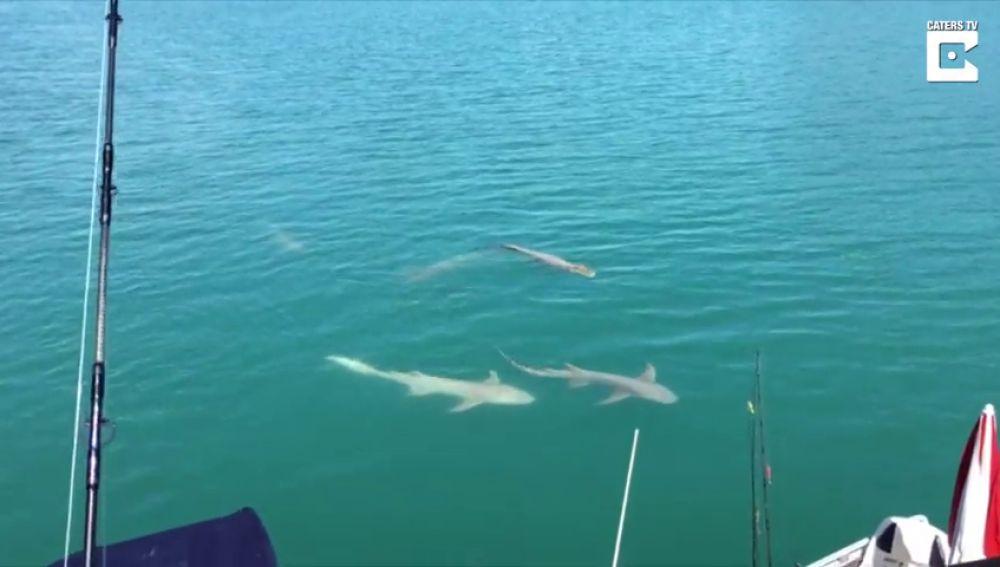 VÍDEO: Un barco es rodeado por un grupo de tiburones y cocodrilos