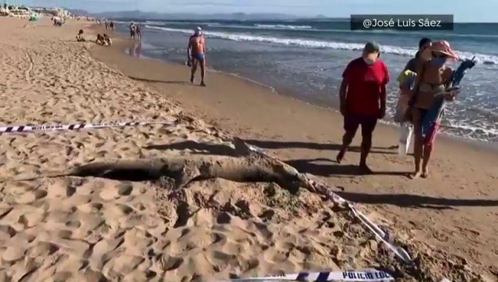 Encuentran a un tiburón de 270 kilos en una playa de Guardamar